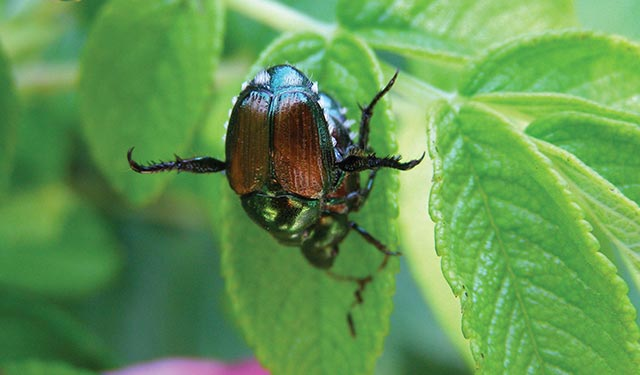 Japanese Beetles & Bagworms